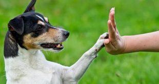 صوره كيفية تدريب الكلاب , امتلاك الكلاب وتدريبها اصبح سهلا