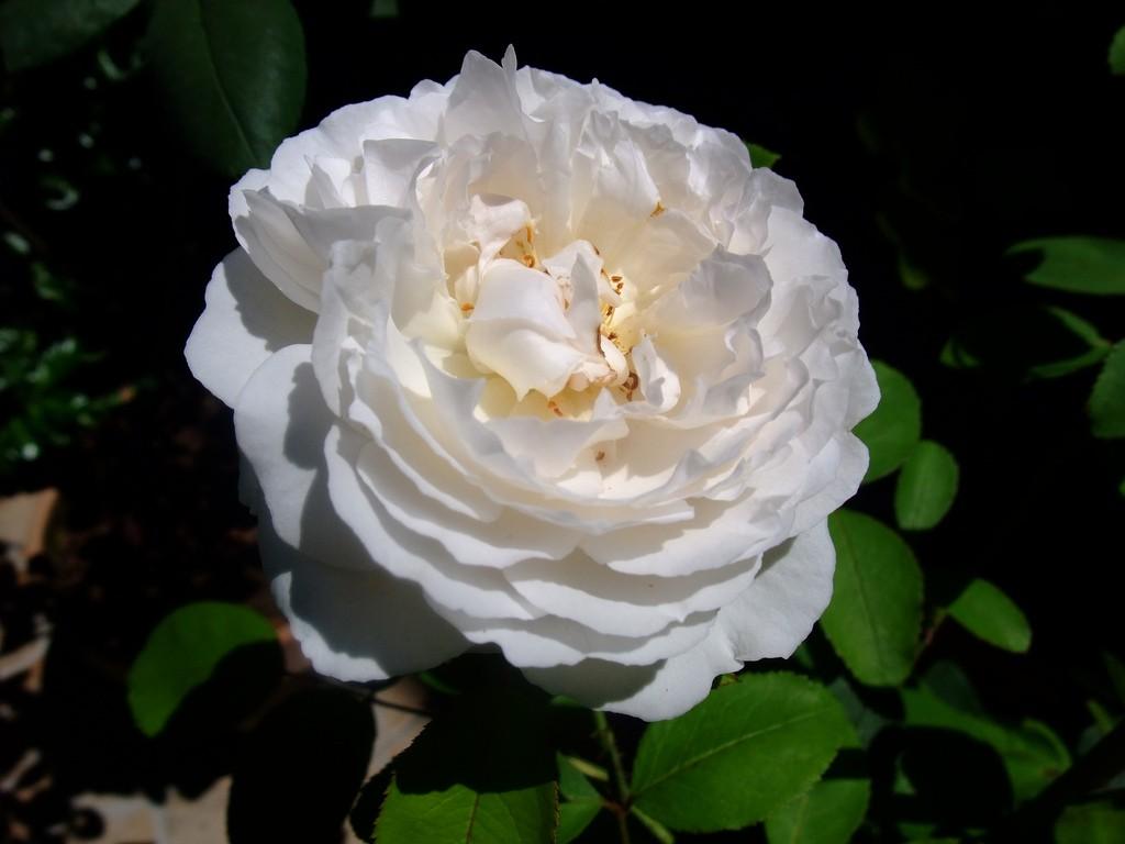 بالصور صور اجمل الورود , صور ورود روعه 1280 13
