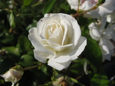 بالصور صور اجمل الورود , صور ورود روعه 1280 2