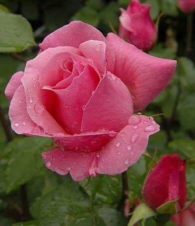 بالصور صور اجمل الورود , صور ورود روعه 1280 6