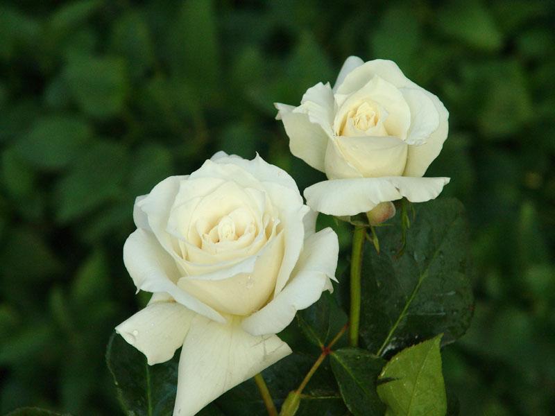 صور صور اجمل الورود , صور ورود روعه