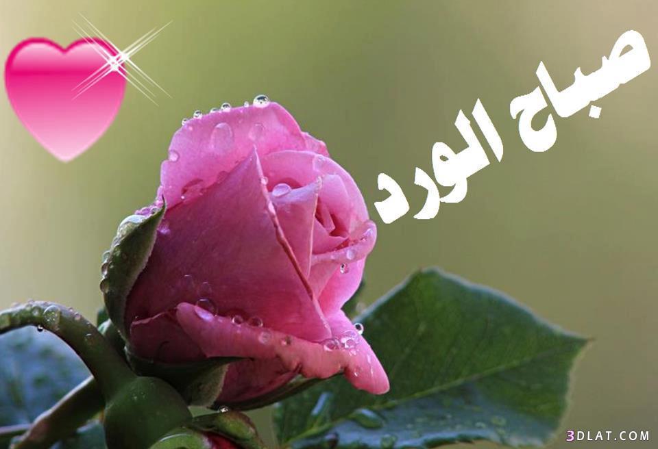 بالصور صباح الورد للورد , اجمل صور صباح الورد 1320 14