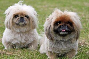 بالصور انواع الكلاب , ما لا تعرفه عن الكلاب 2493 3 310x205