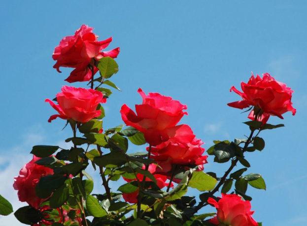 بالصور اجمل صور ورد , احلى ورد جميل 2596 6