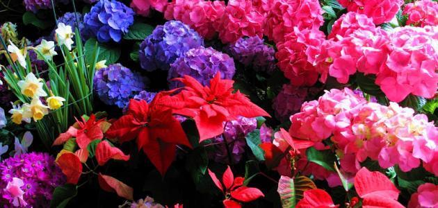 بالصور اجمل الورود في العالم , انواع الورود في العالم 2854 10
