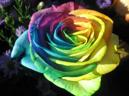 بالصور اجمل الورود في العالم , انواع الورود في العالم 2854 11