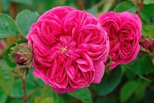 بالصور اجمل الورود في العالم , انواع الورود في العالم 2854 2