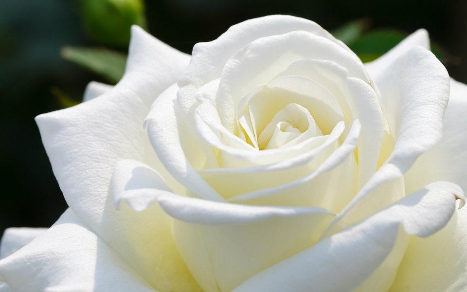 بالصور اجمل الورود في العالم , انواع الورود في العالم 2854 3