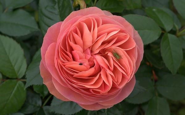 بالصور اجمل الورود في العالم , انواع الورود في العالم 2854 7
