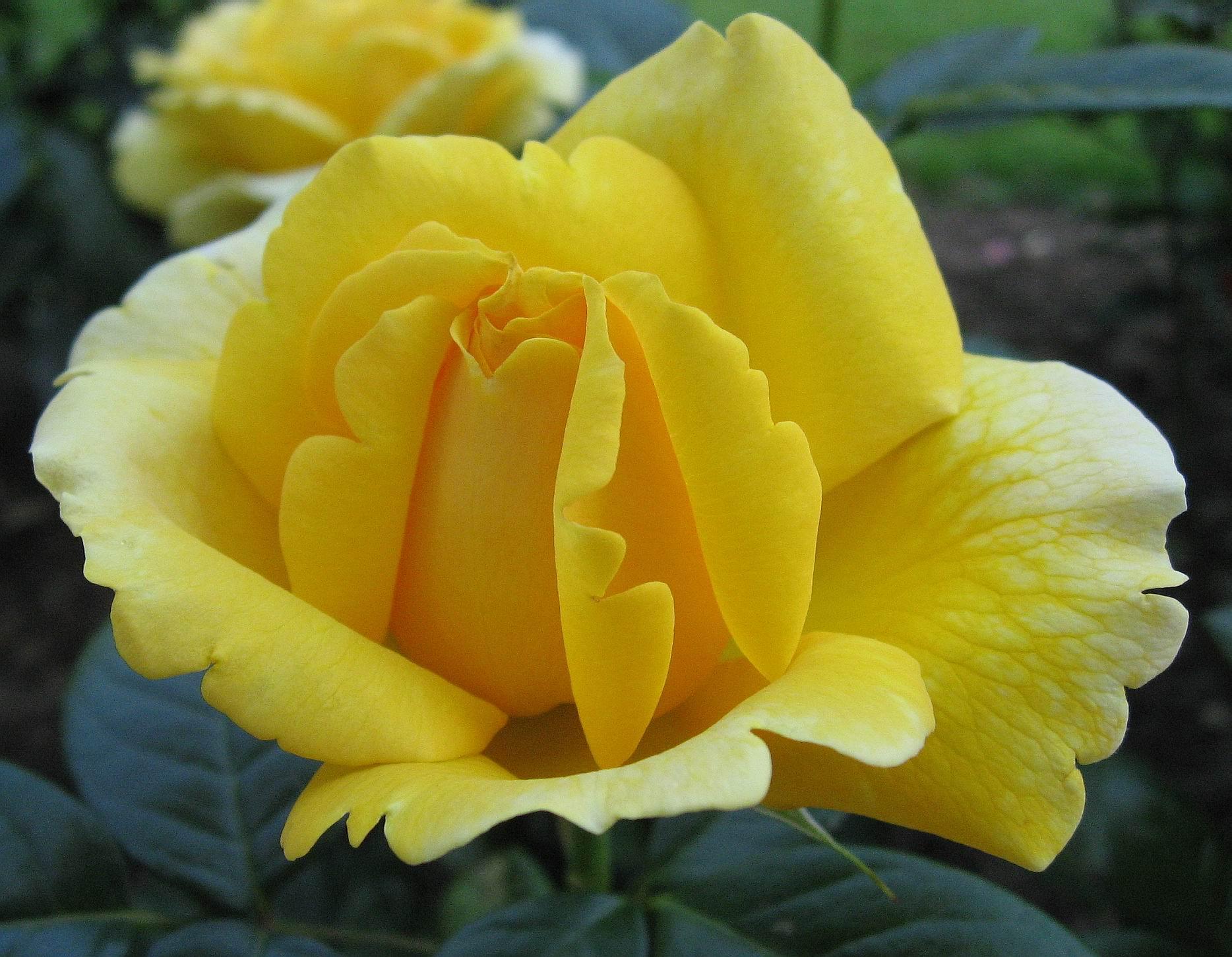 بالصور اجمل الورود في العالم , انواع الورود في العالم 2854 8