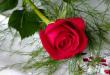 بالصور صور ورود حلوه , اجمل الورود فالصور 3050 1 110x75