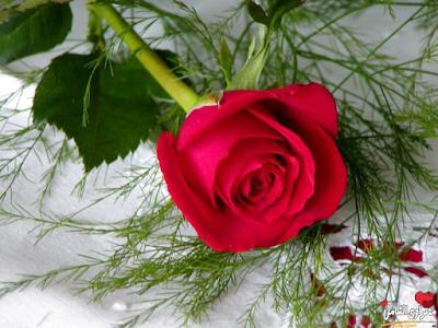 صورة صور ورود حلوه , اجمل الورود فالصور