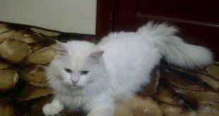 صور قطط رومي , من اجمل انواع القطط القط الرومي
