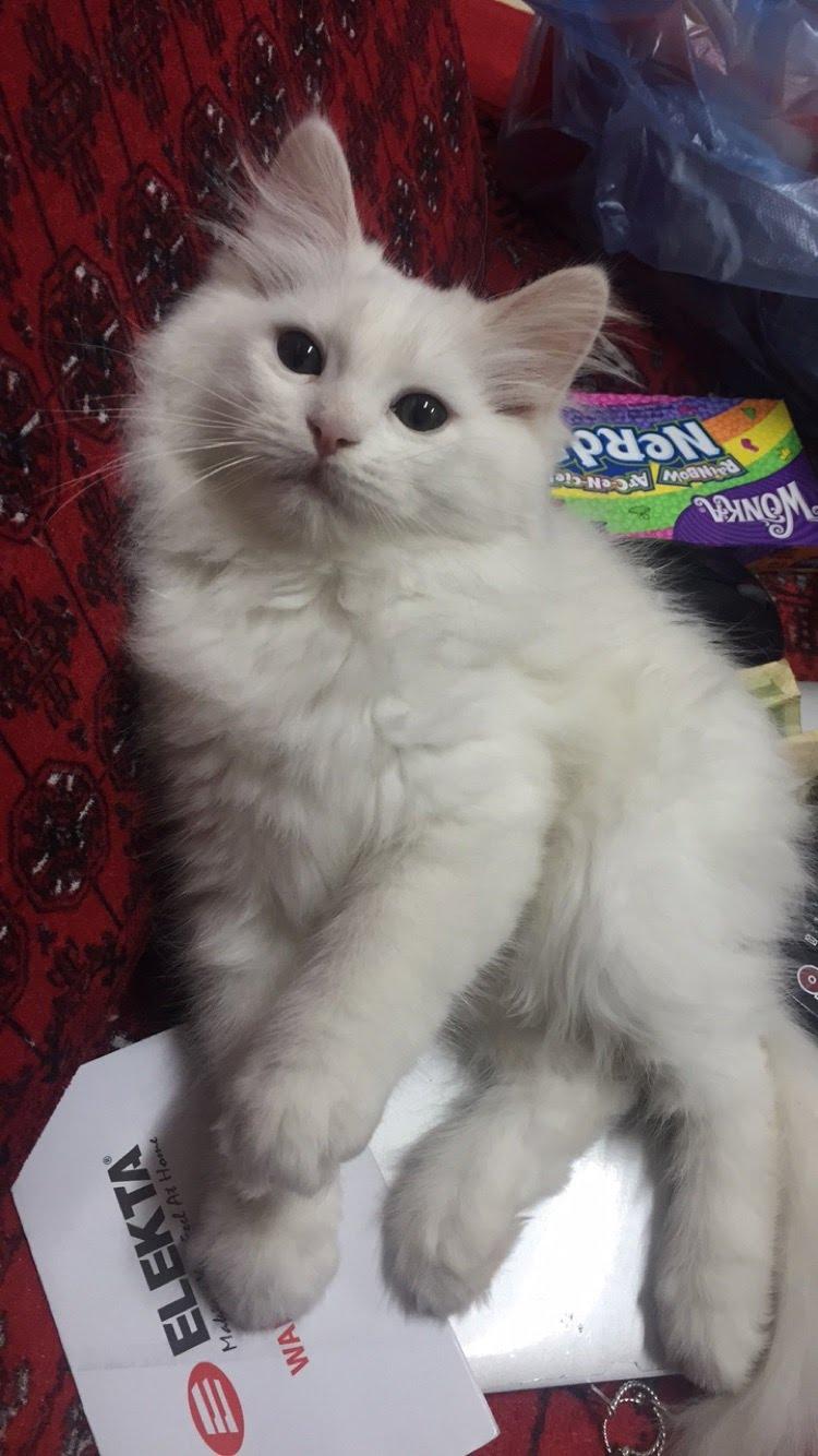 بالصور قطط شيرازى , كيفة تربية القطط الشيرازي 3801 1