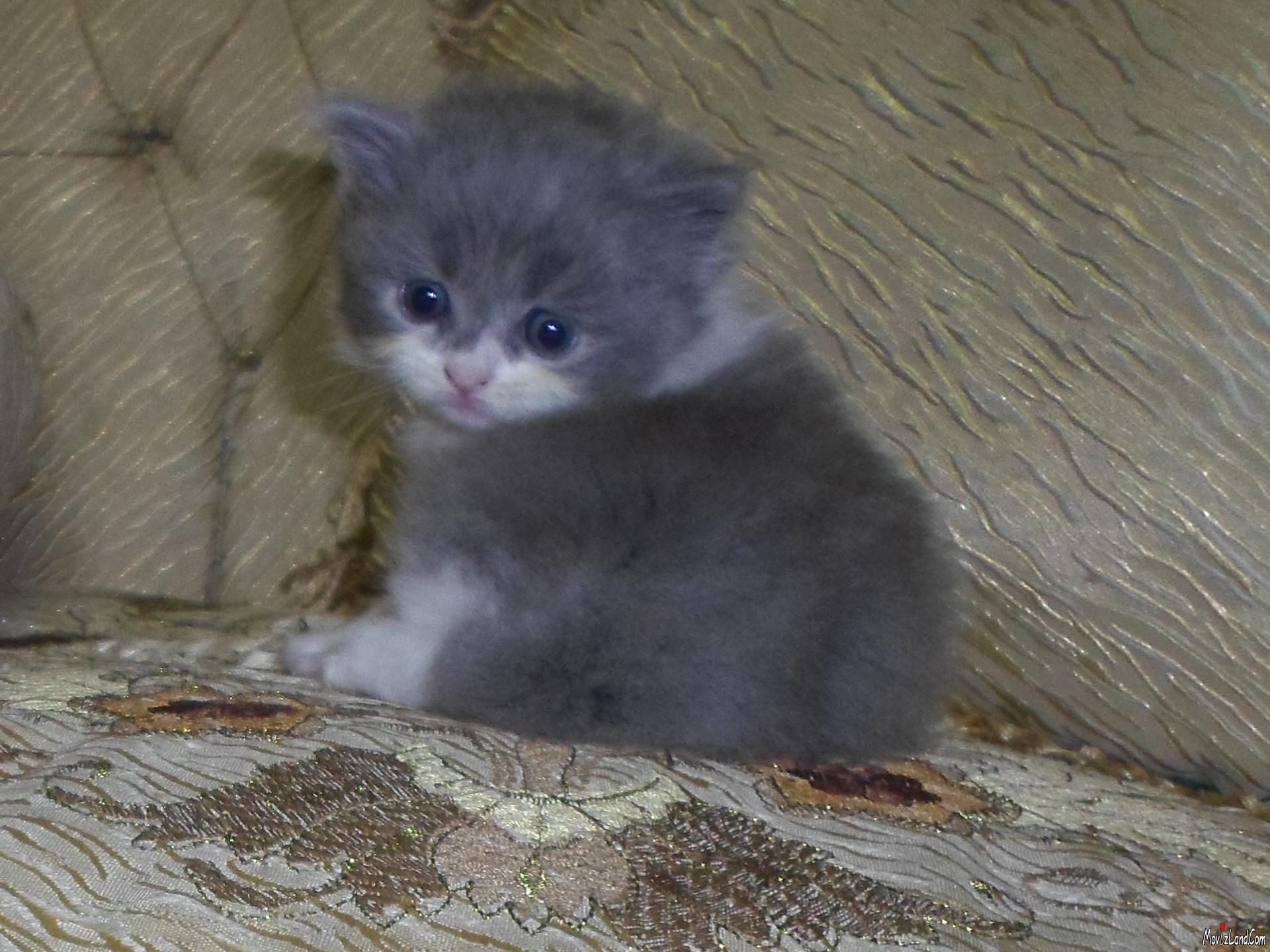 بالصور قطط شيرازى , كيفة تربية القطط الشيرازي 3801 10