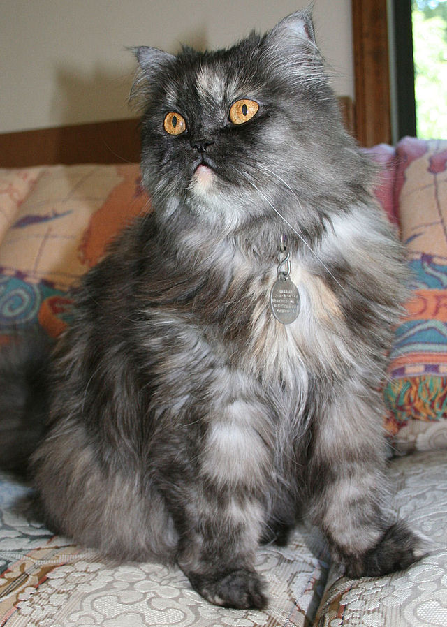 بالصور قطط شيرازى , كيفة تربية القطط الشيرازي 3801 11