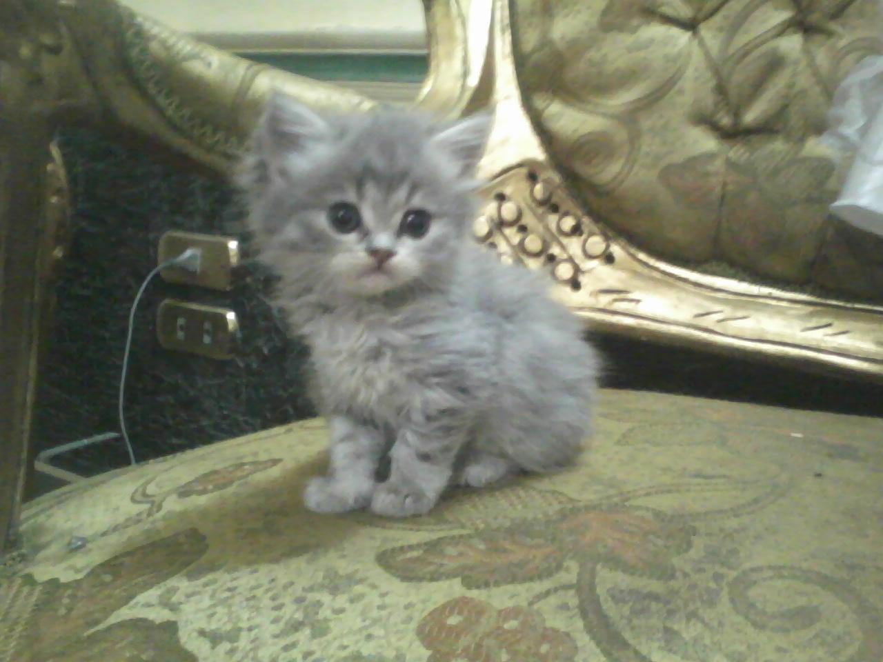 بالصور قطط شيرازى , كيفة تربية القطط الشيرازي 3801 12