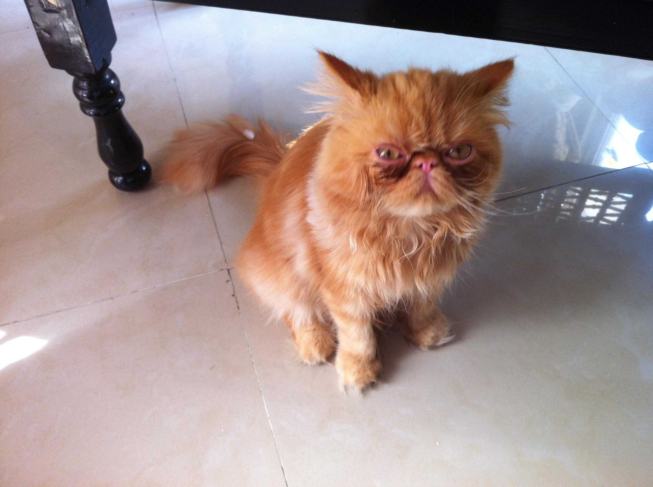 بالصور قطط شيرازى , كيفة تربية القطط الشيرازي 3801 13