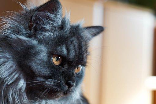 بالصور قطط شيرازى , كيفة تربية القطط الشيرازي 3801 14