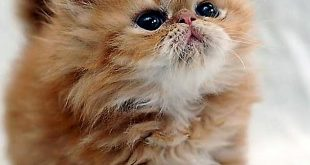 صورة قطط شيرازى , كيفة تربية القطط الشيرازي