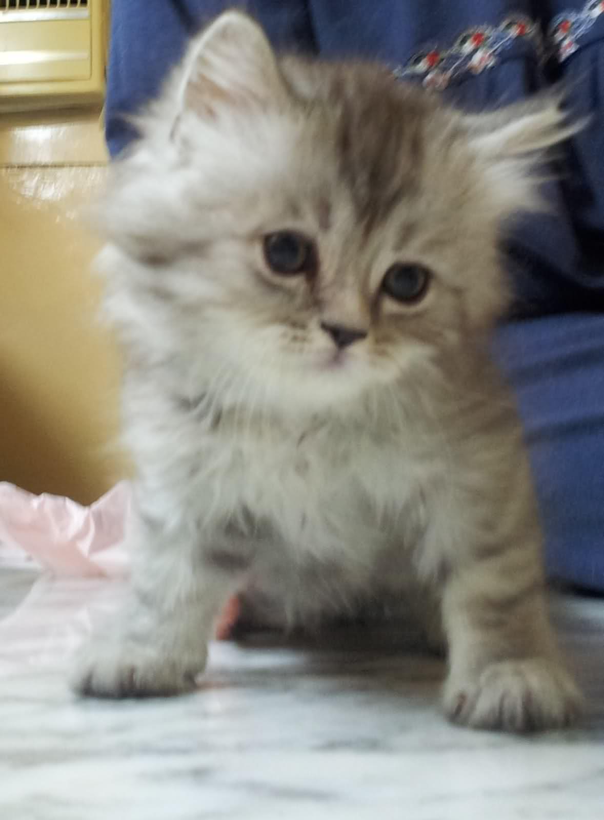 بالصور قطط شيرازى , كيفة تربية القطط الشيرازي 3801 2