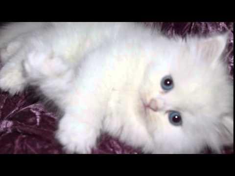 بالصور قطط شيرازى , كيفة تربية القطط الشيرازي 3801 3