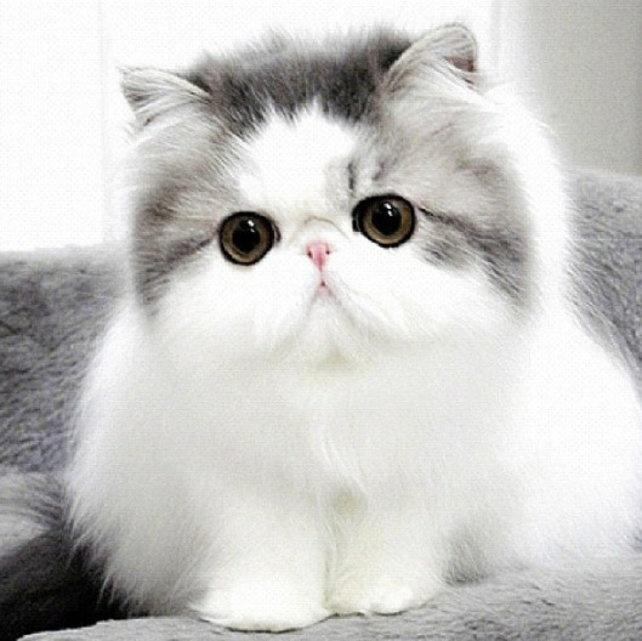 بالصور قطط شيرازى , كيفة تربية القطط الشيرازي 3801 6