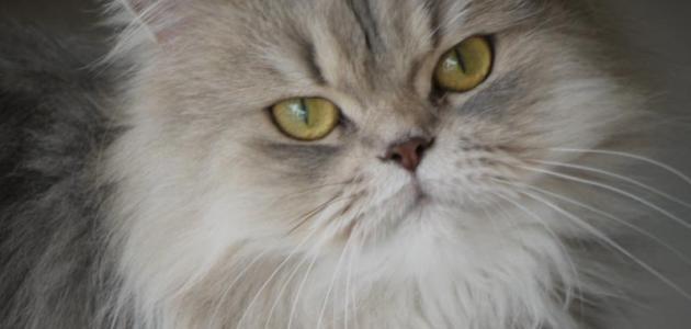 بالصور قطط شيرازى , كيفة تربية القطط الشيرازي 3801 7