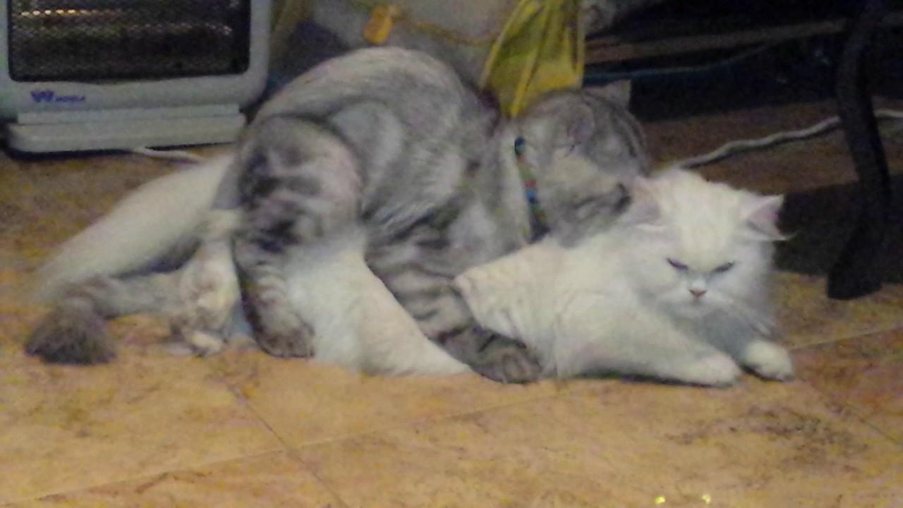 بالصور قطط شيرازى , كيفة تربية القطط الشيرازي 3801 8
