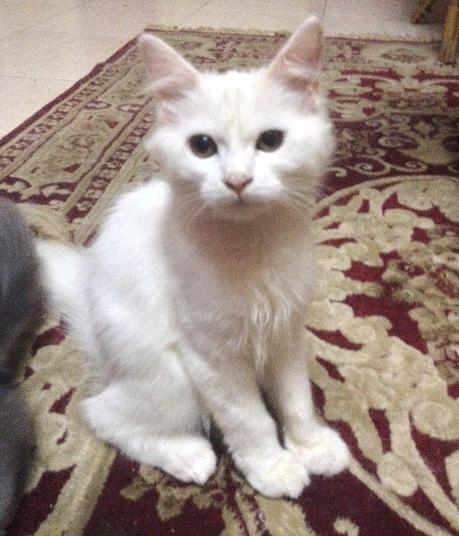 بالصور قطط شيرازى , كيفة تربية القطط الشيرازي 3801 9