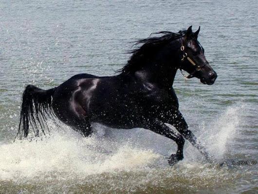 بالصور حصان عربي , مواصفات الخيل العربي الاصيل 3874 10