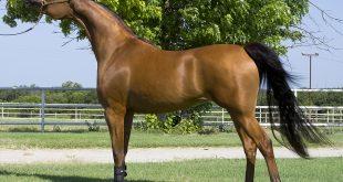 بالصور حصان عربي , مواصفات الخيل العربي الاصيل 3874 12 310x165