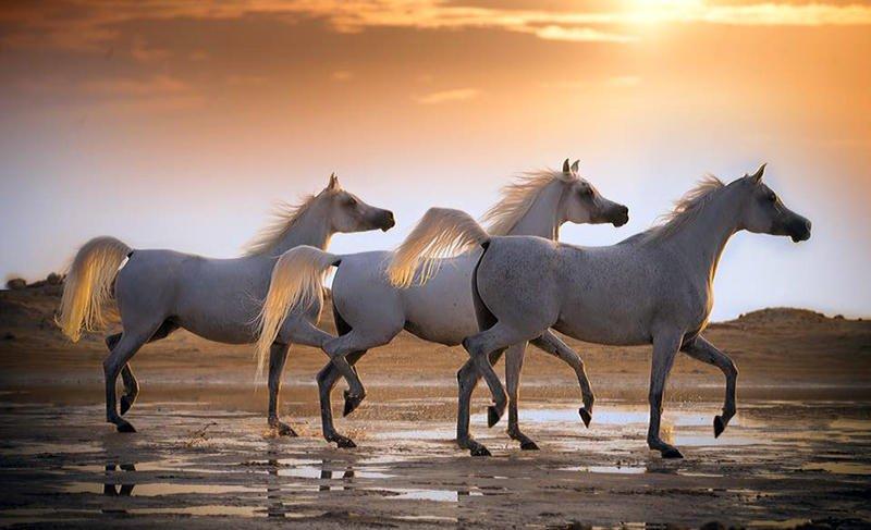 بالصور حصان عربي , مواصفات الخيل العربي الاصيل 3874 3