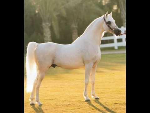 بالصور حصان عربي , مواصفات الخيل العربي الاصيل 3874 5