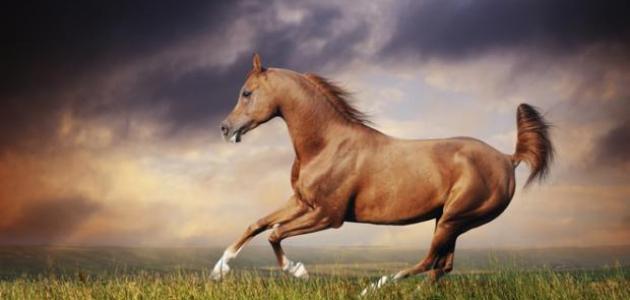 بالصور حصان عربي , مواصفات الخيل العربي الاصيل 3874 7