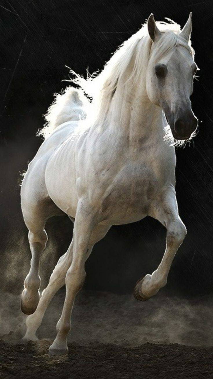 بالصور حصان عربي , مواصفات الخيل العربي الاصيل 3874 9