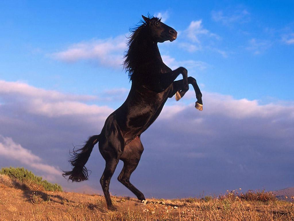 بالصور حصان عربي , مواصفات الخيل العربي الاصيل