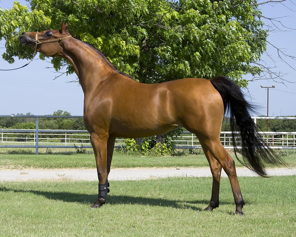 بالصور حصان عربي , مواصفات الخيل العربي الاصيل 3874