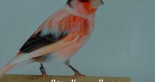 صور اجمل كناري في العالم , معلومات عامة عن طائر الكناري