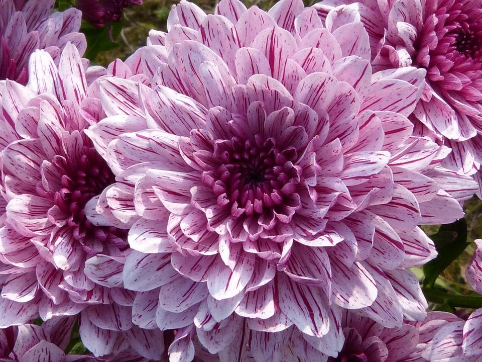 بالصور صور ورد صور ورد , خلفيات زهور و ورد 5052 6