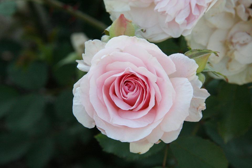 بالصور صور ورد صور ورد , خلفيات زهور و ورد 5052 9