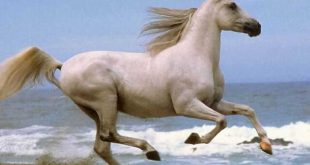بالصور اجمل صور خيول , احلي صور الخيول 5138 12 310x165