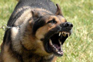 بالصور اشرس انواع الكلاب ٖالكلاب الشرسة وانواعها 6225 3 310x205