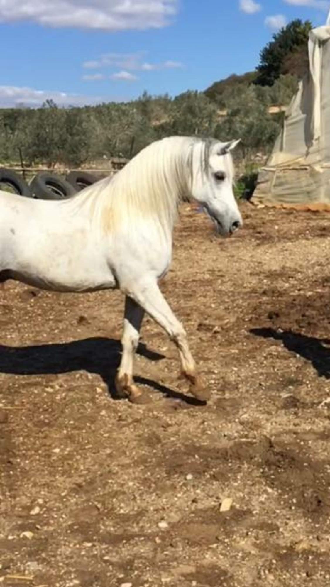 بالصور خيول عربية , اروع الخيول العربية 1099 11