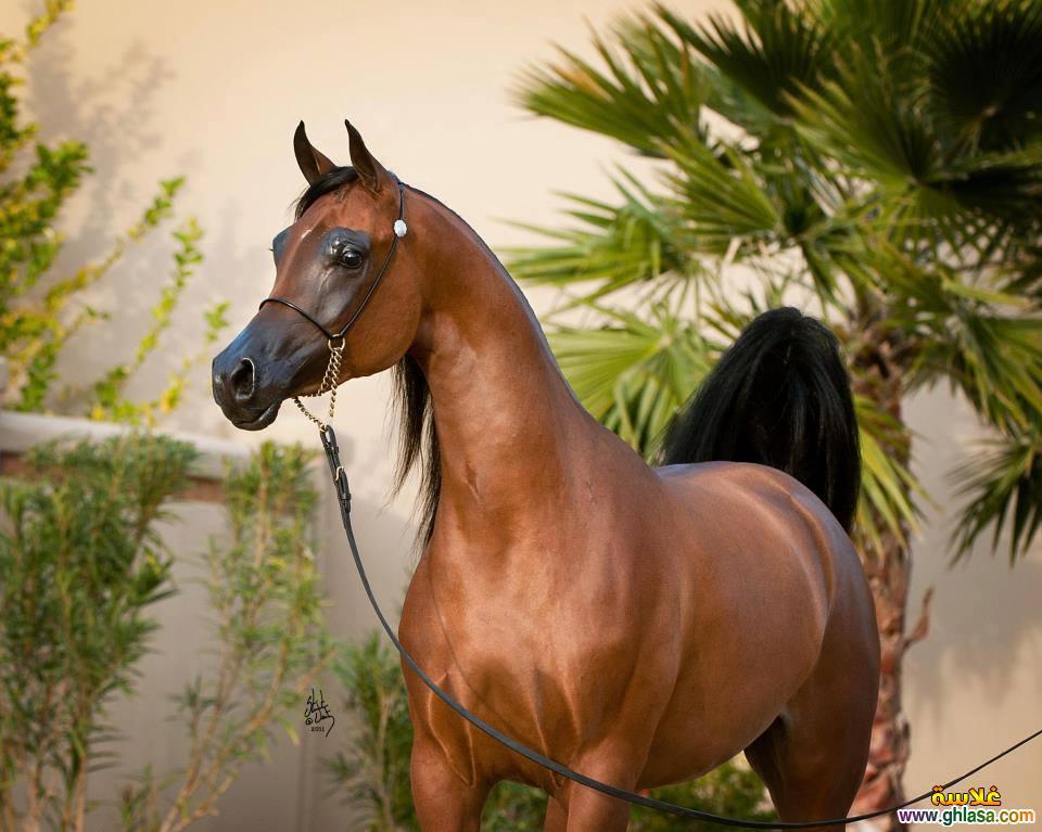 بالصور خيول عربية , اروع الخيول العربية 1099 13