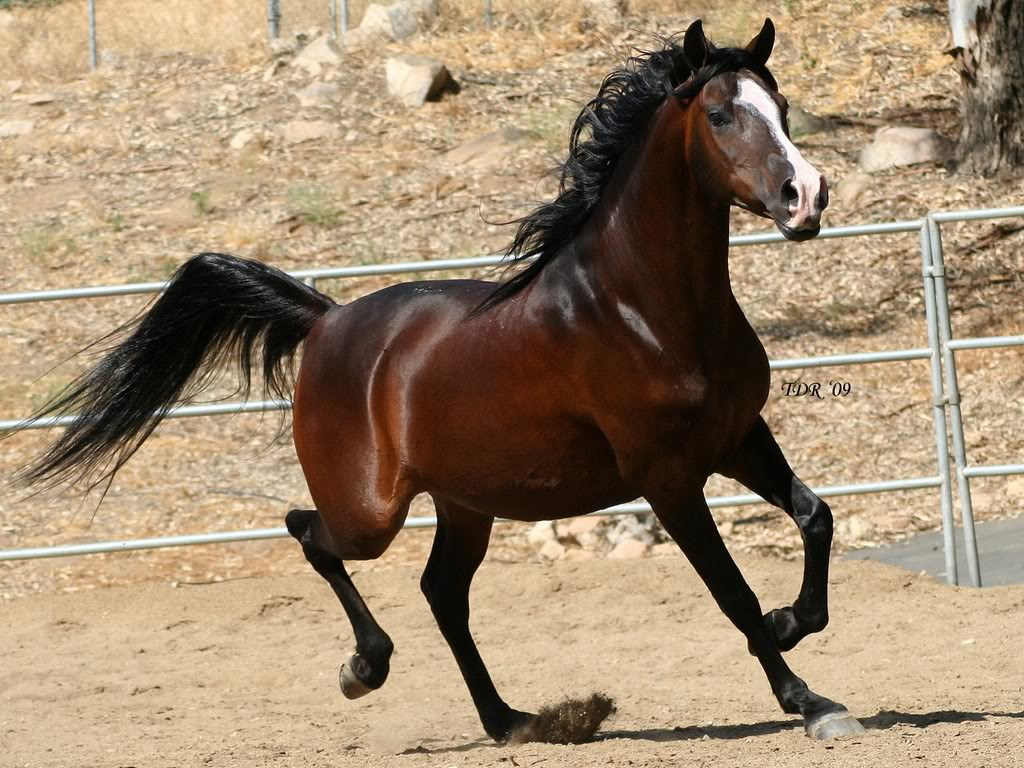 بالصور خيول عربية , اروع الخيول العربية 1099 14