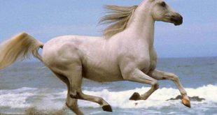 بالصور خيول عربية , اروع الخيول العربية 1099 15 310x165