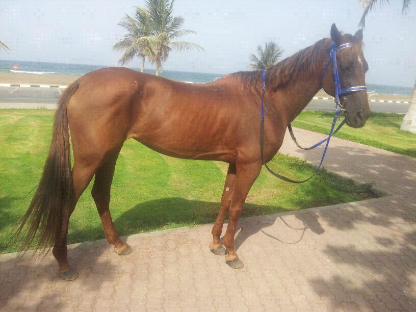 بالصور خيول عربية , اروع الخيول العربية 1099 2