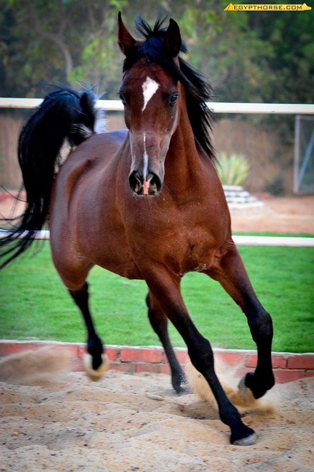 بالصور خيول عربية , اروع الخيول العربية 1099 4