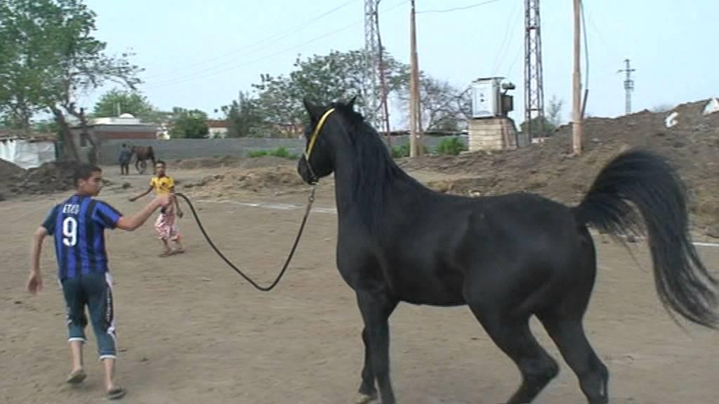 بالصور خيول عربية , اروع الخيول العربية 1099 5